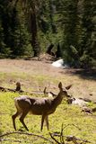 Deer in the Yosemite Park Stock Photos