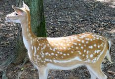 Deer. Youg female deer in a animal park in germany Stock Photos