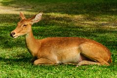 A deer Royalty Free Stock Image