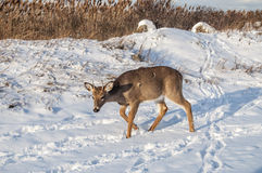 Deer. A young deer with growing antlers in the snow Royalty Free Stock Photography