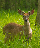 Deer. Young male white-tailed deer standing in tall grass Stock Photography