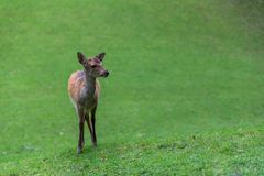 Deer. Young roe deer on green grass background Stock Image