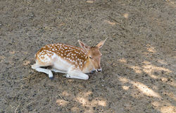 Deer young wildlife resting in the shade on a summer day Stock Photography