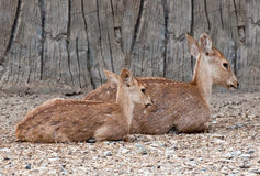 The Deer in zoo Royalty Free Stock Photography