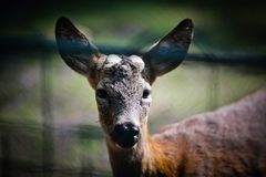 Deer at the Zoo Royalty Free Stock Images