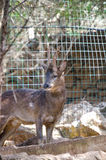 Deer in the zoo Royalty Free Stock Photography