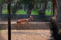 Deer in zoo. At Jeddah, Saudi arabia stock image