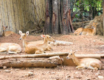 Deer In The Zoo. Royalty Free Stock Image