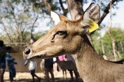 Deer in zoo Stock Photography