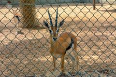 Deer in zoo. At Jeddah, Saudi arabia royalty free stock photography