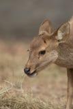 Deer in zoo Royalty Free Stock Image