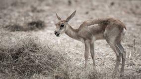 Deer in zoo Royalty Free Stock Photos