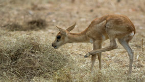 Deer in zoo Royalty Free Stock Photography