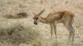 Deer in zoo Stock Images