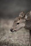 Deer in zoo Stock Photos