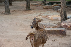 A deer in zoo and looking back side Stock Photography