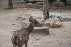 A deer in zoo and looking back side Royalty Free Stock Photos
