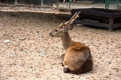 Deer in zoo Stock Photo