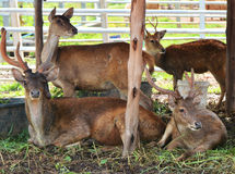 Deer zoo Stock Photography