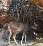 Deer zoo Stock Images