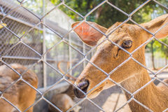 Deer in the zoo. Royalty Free Stock Photo