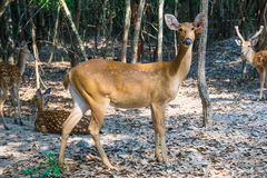 Deer in the zoo. Royalty Free Stock Images