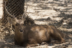 Deer in zoo. Relaxing time Royalty Free Stock Photos