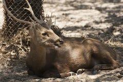 Deer in zoo. Royalty Free Stock Photo