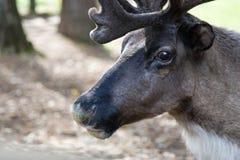 Deer in the zoo, safari. Stock Images