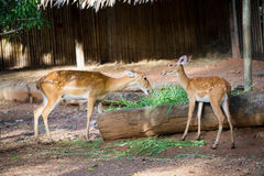 Deer. In zoo of thailand Royalty Free Stock Photography