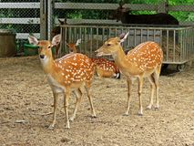 Deer in a zoo in Thailand Stock Photography