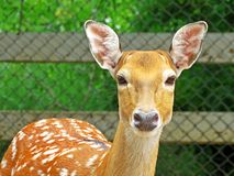 Deer in a zoo in Thailand Royalty Free Stock Images