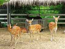 Deer in a zoo in Thailand Royalty Free Stock Photo