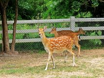 Deer in a zoo in Thailand Royalty Free Stock Photography