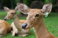 Deer in the zoo, Thailand. Stock Photos