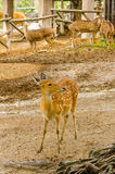 Deer in Zoo Royalty Free Stock Image