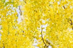 DeerCassia瘘,黄色花 库存图片