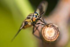Deerfly close up eyes macro Stock Image