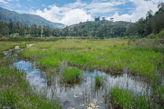 Deergrass. Grassy area at Telaga Warna, Dieng plateau, Indonesia Stock Photography