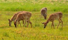 DeerGrazing sur le grand pré, Shenandoah Images libres de droits