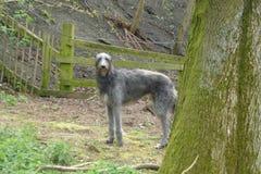 Deerhound στα ξύλα στοκ εικόνες