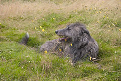 Deerhound. Scottish Deerhound relaxing in a field Stock Images