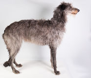 Deerhound royaltyfri foto