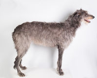 Deerhound Immagine Stock