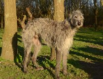 Deerhound in a park. Elder scottish deerhound stands in a park, iluminated by the evening sun Royalty Free Stock Images