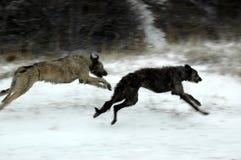Deerhound scozzese e un wolfhound irlandese che gioca su una spiaggia innevata immagini stock