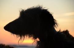 Deerhound stawia czoło sylwetkę Zdjęcie Stock