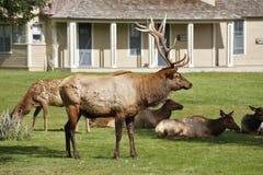 deers公园黄石 免版税库存图片