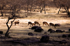 deers印度ranthambore 免版税库存图片