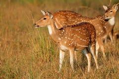 deers察觉了 库存图片